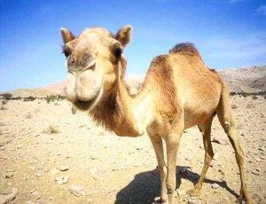 Camel_Oman-1